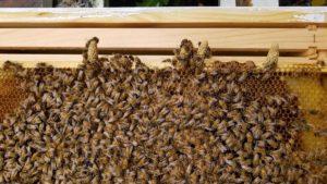 bees_raw_honey