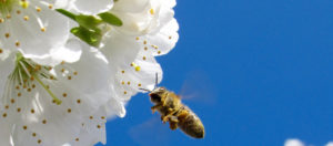 honeybee_with_flower